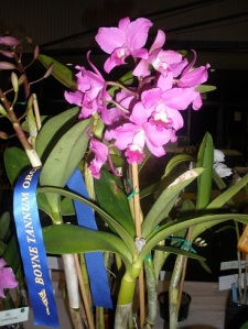 Bc. Little Suzie (Gympie Plant)