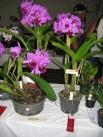 Bc. Little Suzie Gympie Plant