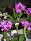 Gympie Plant. Bc. Little Suzie