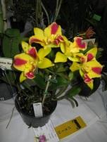 Rth. Burana Beauty Gympie Plant